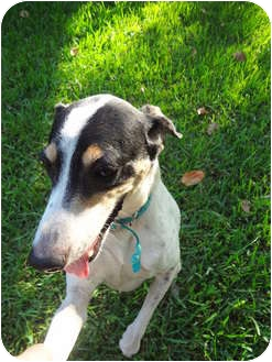 Jack Russell Terrier/Greyhound Mix Dog for adoption in Ocean Ridge, Florida - Swali