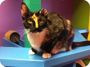 Domestic Shorthair Cat for adoption in Topeka, Kansas - Ursula