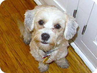 Shih Tzu/Lhasa Apso Mix Dog for adoption in Yorba Linda, California - Zelda - I do not shed!