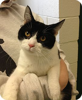 Domestic Shorthair Cat for adoption in South Haven, Michigan - Rizolli