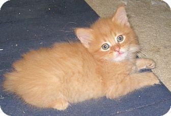 Domestic Mediumhair Kitten for adoption in Charlotte, North Carolina - Fuzzy Wuzzy Charlie