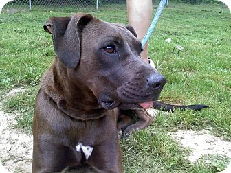 Retriever (Unknown Type)/German Shorthaired Pointer Mix Dog for adoption in Derry, New Hampshire - Tango