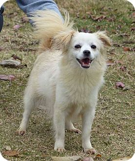 Papillon/Chihuahua Mix Dog for adoption in Fayetteville, North Carolina - Candy