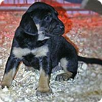 Adopt A Pet :: Finley - Spring City, PA