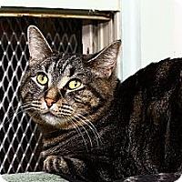 Adopt A Pet :: Italia Bambini - Lombard, IL