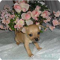 Adopt A Pet :: Puppy 1 - Chandlersville, OH