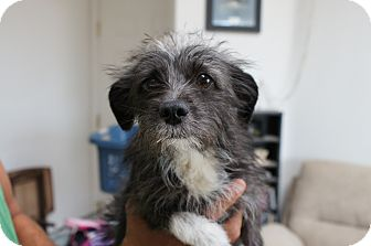 Terrier (Unknown Type, Small) Mix Dog for adoption in Landers, California - Cheesy