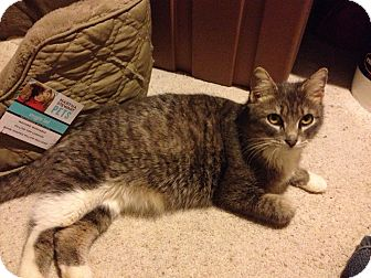 Domestic Shorthair Cat for adoption in Rochester, Minnesota - Alexis