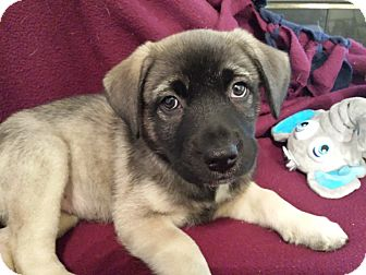 Shepherd (Unknown Type)/Corgi Mix Puppy for adoption in Marietta, Georgia - Phoebe Pup
