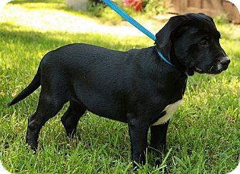 Labrador Retriever/American Bulldog Mix Puppy for adoption in Spring Valley, New York - Joey (CR)