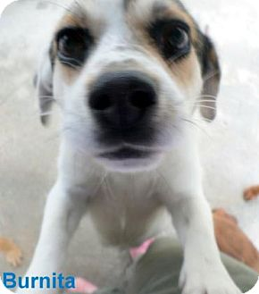Jack Russell Terrier/Beagle Mix Dog for adoption in Georgetown, South Carolina - Burnita