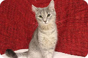 Domestic Shorthair Cat for adoption in Midland, Michigan - Connie