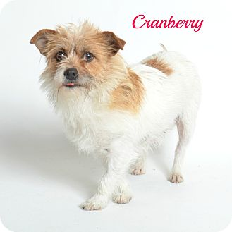 Jack Russell Terrier/Dachshund Mix Dog for adoption in Metairie, Louisiana - Cranberry