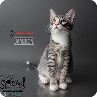Domestic Shorthair Kitten for adoption in Columbus, Ohio - Jameson