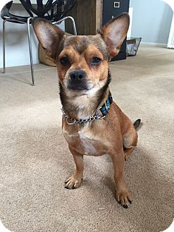 Chihuahua Mix Dog for adoption in Los Angeles, California - BEAR - Courtesy