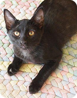 Bombay Kitten for adoption in Buhl, Idaho - Panther