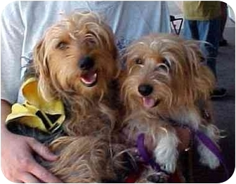 Silky Terrier Mix Dog for adoption in Spring Valley, California - ZOE & ZAK