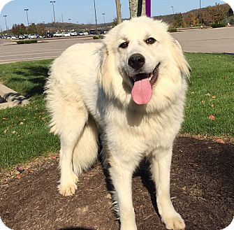 Great Pyrenees Dog for adoption in Pittsburgh, Pennsylvania - Shirley