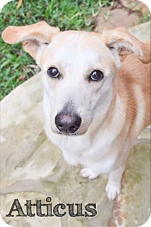 Labrador Retriever Mix Dog for adoption in DFW, Texas - Atticus