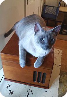 Siamese Cat for adoption in Houston, Texas - Zephyr