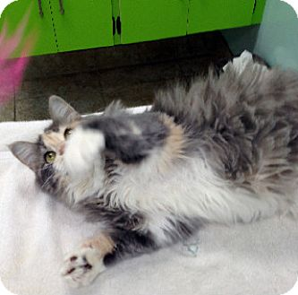 Maine Coon Kitten for adoption in Putnam Hall, Florida - Mika