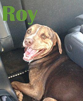 Labrador Retriever/Staffordshire Bull Terrier Mix Dog for adoption in Orangeburg, South Carolina - Roy