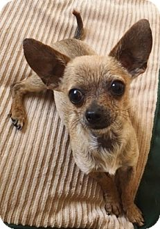 Chihuahua Dog for adoption in Los Angeles, California - Claude - 3.5 lbs!