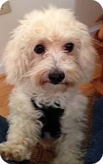Poodle (Miniature)/Shih Tzu Mix Dog for adoption in Conesus, New York - Little Bear