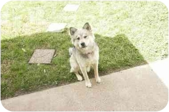 Great Pyrenees/Alaskan Malamute Mix Puppy for adoption in Kyle, Texas - Baby