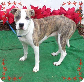 Boxer/Terrier (Unknown Type, Small) Mix Dog for adoption in Marietta, Georgia - PAULETTE