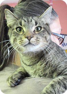 Domestic Shorthair Cat for adoption in Reeds Spring, Missouri - Boris