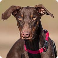 Adopt A Pet :: Dak - Dacula, GA