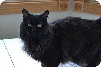 Domestic Longhair Cat for adoption in Ridgway, Colorado - Pansie