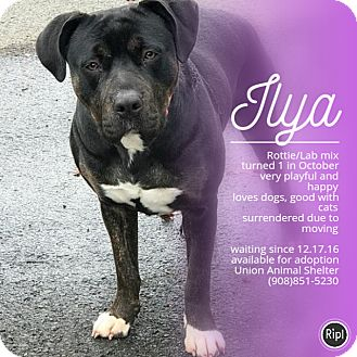 Rottweiler/Labrador Retriever Mix Puppy for adoption in Union, New Jersey - Ilya