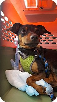 Miniature Pinscher Mix Dog for adoption in St. Catharines, Ontario - Kolby
