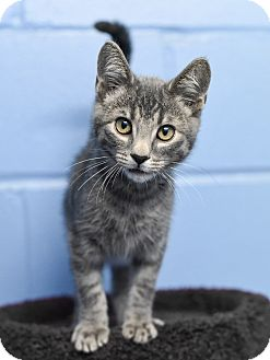Domestic Shorthair Kitten for adoption in Nashville, Tennessee - Texas