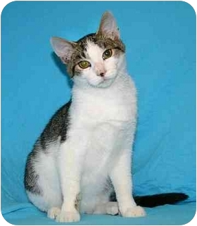 Domestic Shorthair Kitten for adoption in Ladysmith, Wisconsin - Marty
