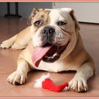 Adopt A Pet :: Georgia Peach - Glendale, AZ