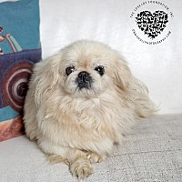 Adopt A Pet :: Lady - Inglewood, CA