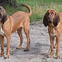 Adopt A Pet :: Howard's Hounds - Orlando, FL