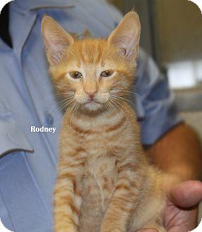 Domestic Shorthair Kitten for adoption in Bedford, Texas - Rodney