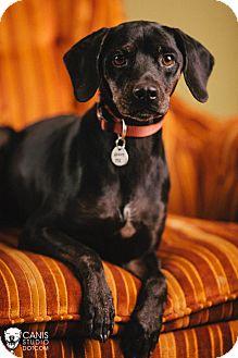 Beagle Mix Dog for adoption in Portland, Oregon - Russo