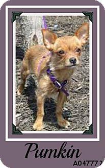 Chihuahua Mix Dog for adoption in Overland Park, Kansas - Pumkin