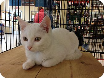 Domestic Shorthair Kitten for adoption in East Brunswick, New Jersey - Leonardo