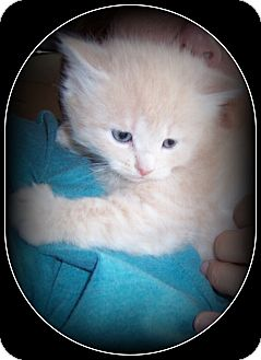 Domestic Longhair Kitten for adoption in South Plainfield, New Jersey - Peeps - HOW CUTE IS HE?!!