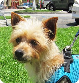 Australian Terrier/Yorkie, Yorkshire Terrier Mix Dog for adoption in West Los Angeles, California - Hugo