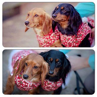 Dachshund Dog for adoption in Grand Bay, Alabama - Minnie & Miley