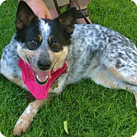 Adopt A Pet :: ADOPTION PENDING - Queenie - Woodland Hills, CA