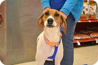 Coonhound (Unknown Type) Mix Dog for adoption in Lake Orion, Michigan - Sugar