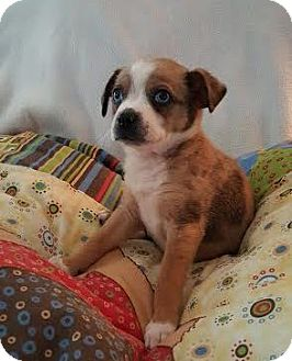 Australian Cattle Dog Mix Puppy for adoption in Knoxville, Tennessee - Babette